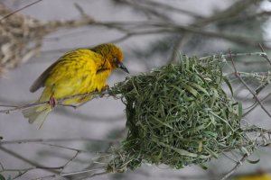 Weaver bird by exfordy