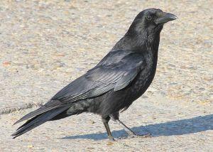 Crow aka Corvus_corone b