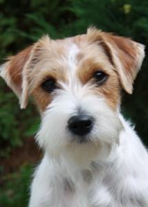 Rough_coat_Jack_Russell_terrier (2)